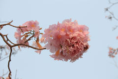 Sweety pink trumpet tree Royalty Free Stock Image