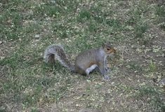 Sweety Squirrel in the Park from Washington DC in USA Royalty Free Stock Photos
