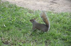 Sweety Squirrel in the Park from Washington DC in USA Royalty Free Stock Image