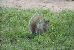 Sweety Squirrel in the Park from Washington DC in USA Royalty Free Stock Photo