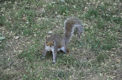 Sweety Squirrel in the Park from Washington DC in USA Stock Images