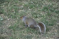 Sweety Squirrel in the Park from Washington DC in USA Stock Image
