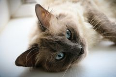 Sweety Thai kitty. My sweet cat Umka. Her eyes are gorgeous. This photo will decorate any collection royalty free stock image