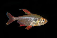 Sweglesi Tetra de Hyphessobrycon dos peixes em um fundo preto imagem de stock