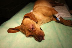 Swelling eyelid and syringe in limb by vizsla dog Royalty Free Stock Photography