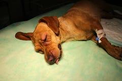 Swelling eyelid and syringe in limb by vizsla dog. On operating table stock image