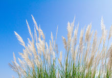 Swhite Feather Grass in wind with sky background Royalty Free Stock Images