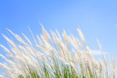 Swhite Feather Grass in wind with sky background Stock Photo