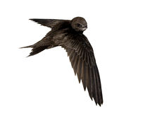 Swift stock image