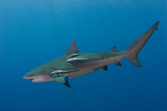 Swift bullshark. The view of a single bull shark swimming by, Pinnacles, Mozambique Stock Images