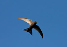 Swift flight Stock Photo