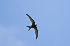 Swift flying over head Stock Photography