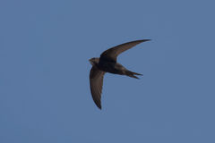 Swift flying over head Stock Image