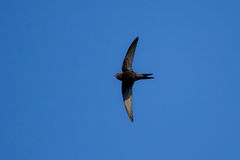 Swift flying over head Royalty Free Stock Photography