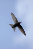 Swift flying over head Royalty Free Stock Image
