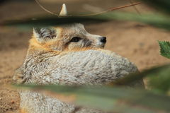 Swift fox Stock Image