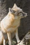 Swift fox sitting and looking Royalty Free Stock Images