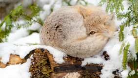 Swift fox sleeps in winter habitat. Stock Images