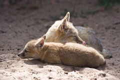 Swift foxes resting. Two swift foxes, adult female with kid resting together Royalty Free Stock Photo