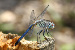 Swift Long Wing Skimmer Dragonfly Stock Photography
