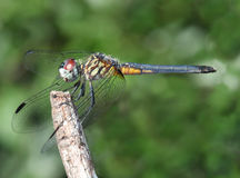 Swift Long Wing Skimmer Dragonfly Royalty Free Stock Photography