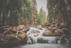 A swift mountain river with clear water pours on rocks and rapids. Surrounded by green coniferous forests Teberda, Dombay, Russia royalty free stock image