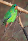 Swift parrot royalty free stock images