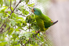 Swift Parrot Royalty Free Stock Photography