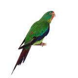 Swift Parrot on white background. Swift Parrot, Lathamus discolor, isolated on white background Stock Image