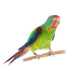 Swift Parrot on white background. Swift Parrot, Lathamus discolor, isolated on white background Stock Photos