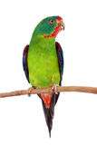 Swift Parrot on white background Stock Photography