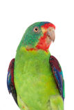 Swift Parrot on white background Stock Image