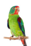 Swift Parrot on white background Royalty Free Stock Photography