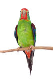 Swift Parrot on white background Royalty Free Stock Images