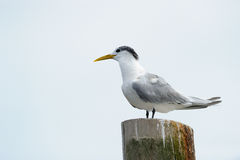 Swift Tern. Standing on a pole Stock Photography