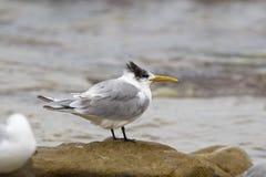 Swift Tern Stock Image