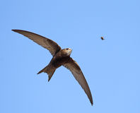 Swift (Apus apus). A swift about to catch a bee Stock Photography