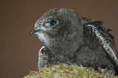 Swift. Young swift (Apus apus) perched on a rock Stock Photo