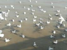 Swiftlet Gull migrated annually. Thailand samutprakarn seaview beauty bird royalty free stock photo