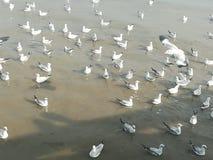 Swiftlet Gull migrated annually. Thailand samutprakarn seaview beauty bird stock photo