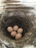 Swifts bird nest. A swifts bird nest with five brown eggs Stock Images