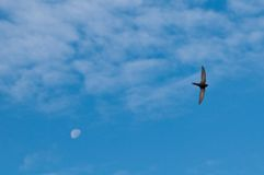 Swifts flying Royalty Free Stock Image