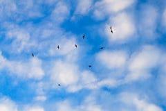 Swifts gosta de perseguição-planos Foto de Stock