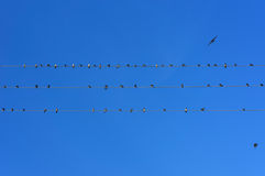 Swifts on wires Royalty Free Stock Images