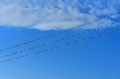 Swifts on wires Stock Images