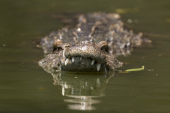 Swim in crocodile. Crocodile swimming close-up to the viewer, hunting of the river Royalty Free Stock Image