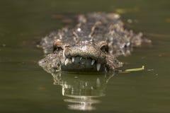 Swim in crocodile Royalty Free Stock Image