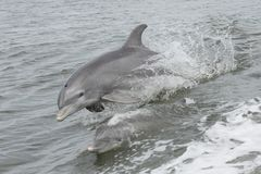 The Swim of the Dolphins. Two dolphins swimming and playing in the water Stock Images