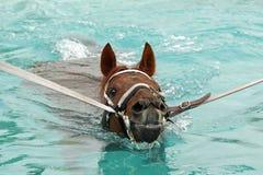 Swim exercise. Race horse swimming exercise in pool Stock Photo