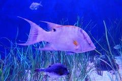 Swimming fish and seaweed. Swim fish and seaweed, taken in florida Stock Photo
